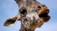 Žirafos rijimui koordinuoti naudoja 61 procentą smegenų veiklos.