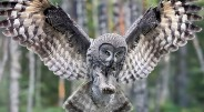Pelėdos akies obuoliai yra vamzdinės formos, kadangi pelėda savo akių judinti nesugeba. Pelėda yra vienintelis paukštis galintis apsukti galvą 270° […]