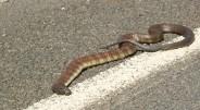 6. Tigrinė gyvatė Rastas Australijoje, šis roplys turi itin nervus veikiančius nuodus. Mirtis nuo įkandimo gali ištikti per 30 minučių, […]