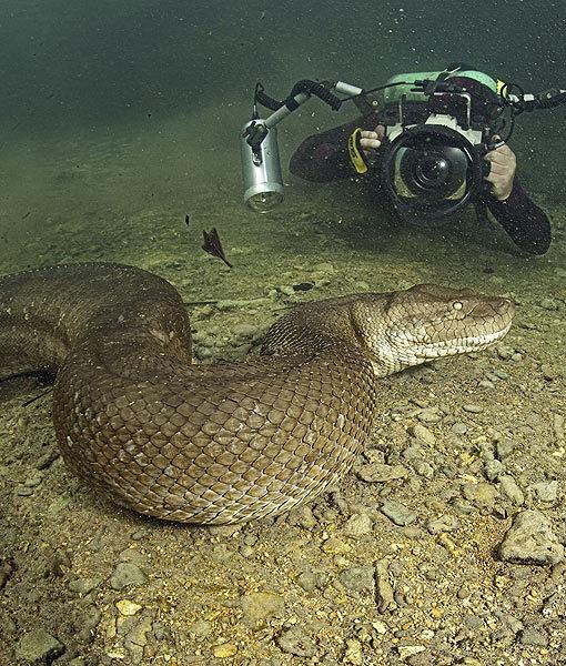 Naras su anakonda