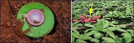 Minos ir augalai