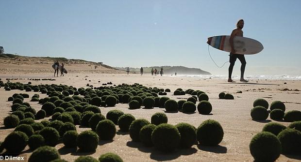 Ką pagalvotumėte, jei vieną rytą nuėję, kad ir Baltijos jūros paplūdimį, ten išvistumėte tūkstančius paplūdimio smėlyje besivoliojančių žalių, minkštų, idealios […]