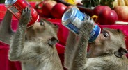 Pasaulyje rengiami įvairiausi festivaliai – didingi, linksmi, iškilmingi. Vienas iš keistesnių festivalių – Tailande, Lopburio mieste kasmet vykstanti Beždžionių puota. […]