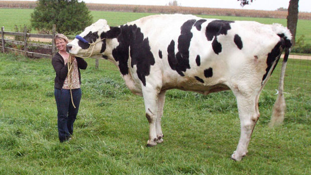Blosom didžiausia karvė pasaulyje