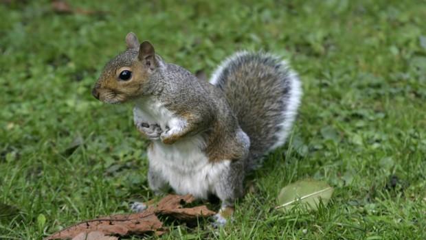 """Negaluojantis voverės jauniklis pats atbėgo pas veterinarus į kliniką Sipo mieste, praneša Suomijos interneto portalas """"Yle"""". Kai žvėrelis užsiropštė ant […]"""
