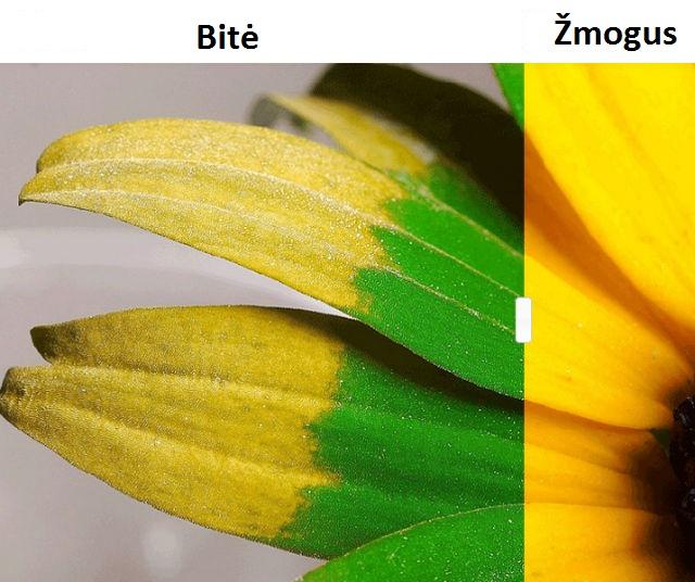 Bitė / Kaip gyvūnai mato pasaulį