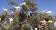 Kalnų ožkos ir ožiai jau seniai stebina žmones savo neįtikėtinu prisitaikymu išgyventi tokiose vietose, kuriose gyvenimą sunku įsivaizduoti bet kokiam […]