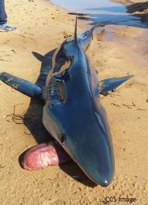 Keistas Ryklių įprotis išvemti savo skrandį ir vėl jį praryti