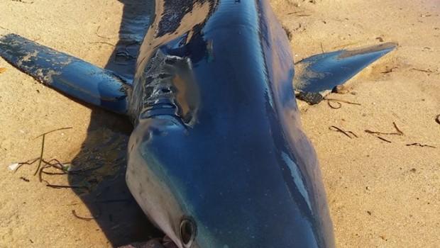 Jūrų biologus jau ilgą laiką glumina keistas Ryklių elgesys vadinamasskrandžio eversija arba tiesiog skrandžio praplovimu. Mokslininkus ypatingai stebina ne pats […]