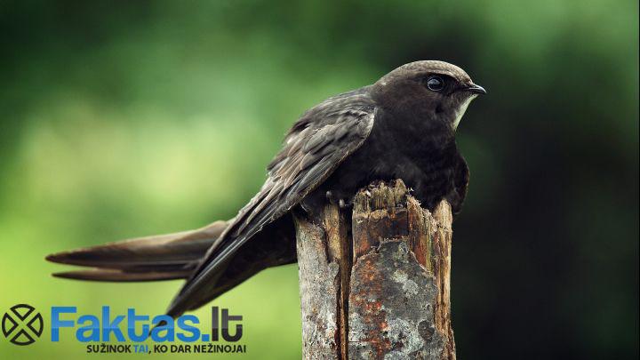 Juodasis čiurlys - Lietuviškas paukštis